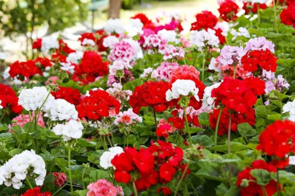 цветение герани